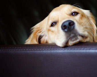 Just Lounging, Dog Photography, Golden Retriever, Blank Photo Card