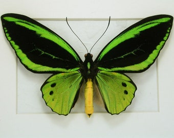 Glowing Green Ornithoptera Priamus -Real Framed Butterfly