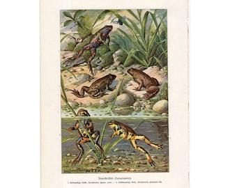 c. 1900 FROG print original antique amphibian lithograph of frogs