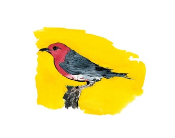 Shama Thrush illustration print.