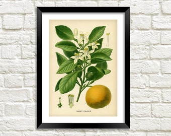 ORANGE TREE PRINT: Vintage Citrus Fruit Art Illustration Wall Hanging (A4 / A3 Size)