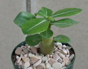 Pink Desert Rose-Adenium Obesum