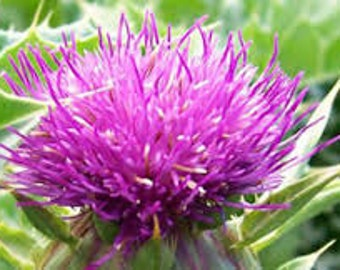Blessed Milk Thistle Seeds, Organic, Silybum marianum, Lady's Thistle, Holy Thistle, Our Lady's Milk Thistle, Medicinal Herb, Perennial