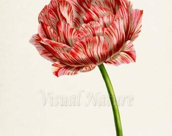 Botanical Print, Botanical Art Print, Flower Wall Art, Flower Print, Floral Print, Tulip Art, red, white, Tulipa culta