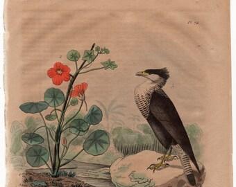 1835 exotic nature print rare original antique hand colored engraving - falcon bird of prey botanical caracara