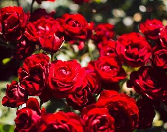 Roses in Butchart Gardens - British Columbia, Canada