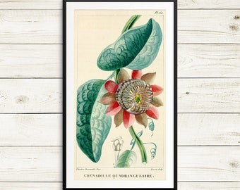 Giant granadilla, Passiflora quadrangularis, antique kitchen decor, vintage home decor, antique botanical art print set, flower art prints