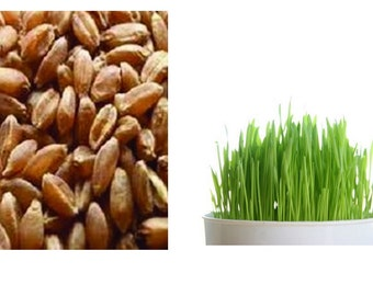 Organic Wheatgrass Seeds, One Pound, Grow Your Own Wheatgrass At Home Or For Business, Nutritional Body Cleansing Wheatgrass, Fast Germinate