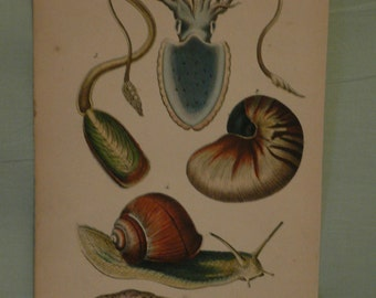 Mollusks, a hand-colored natural history print, circa 1850, anonymous, mollusks, squid, snail