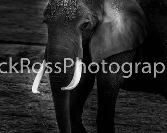 Canvas Print of Elephant