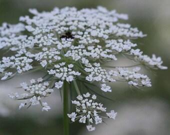 Photo Print - Queen Ann's Lace Flower Photo