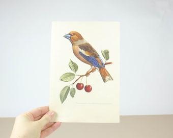 Vintage Bird Illustration, 1950s