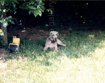 Vintage Photo, Weimaraner Dog Resting Under Tree, Color Photo, Found Photo, Snapshot, Vernacular Photo, Dog Photo, Pet Photo , Animal