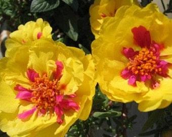Portulaca Seeds, Magic Carpet Mix, Flower, Attracts Butterflies to the Garden, 25 Seeds