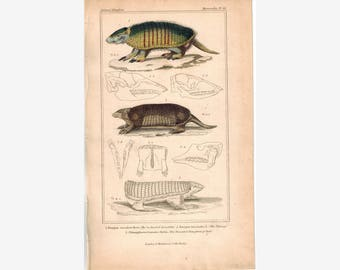 Six-banded Armadillo South America ArmadilloThe Tatouay Cuvier Print