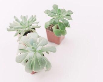 Nature Photography - Succulent Photograph - Succulents - Nature - Fine Art Photography Print - Green White Home Decor