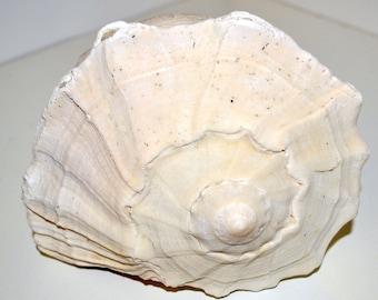 Beach Decor Craft Supplies Large Whelk Shell Sun Bleached Weathered