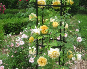 how to grow roses from dry seeds