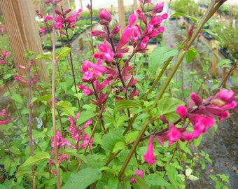 Rosebud Sage, Roseleaf Sage 'Mulberry Jam' Salvia (Ornamental) Attracts hummingbirds.