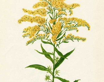 Vintage 1953 Goldenrod Flower Botanical, Floral Print for Framing, American Wildflower, Classic Yellow Wildflower