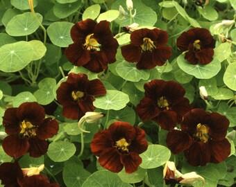 """ANATT) TOM THUMB Black Velvet Nasturtium~Seeds!!~~~~10"""" Tall!"""