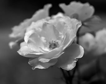Bloom in Black and White