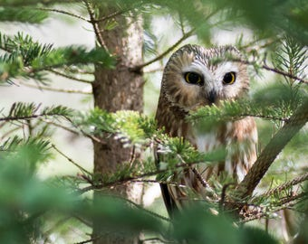 Owl Hiding in Green Pine Tree Nature Photography Digital Download