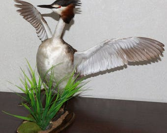 Great Crested Grebe - Taxidermy Bird Mount, Stuffed Bird For Sale - Duck, Waterfowl - ST4046