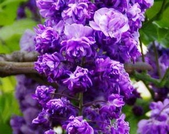 Black Dragon Wisteria - a Double Flowering Fragrant Vine.  3 - Year Live Plant