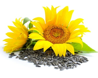 Organic SUNFLOWER seeds US Seller 50-300 Non- Gmo SEEDS Free Shipping!