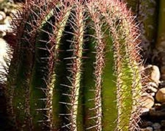 5 Giant Red Barrel Cactus Seeds-1151
