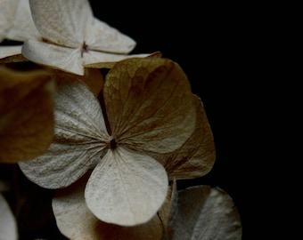Square Flower Photography, Hydrangea Print, Dried Flowers, Beige, Neutral, Cream, Still Life Print, Black, Home Decor, 8x8 Print,