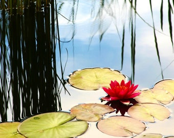 12x18 Canvas Ready to Ship: Red Water Lily, Flower Photo, Denver Botanic Gardens, Wall Decor, Canvas Wrap, Gift for Her