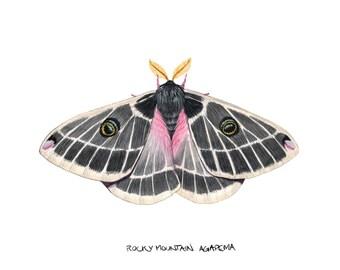 Rocky Mountain Agapema  (Agapema homogena)