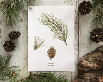 Black Pine - Cone and Branch - Print A5