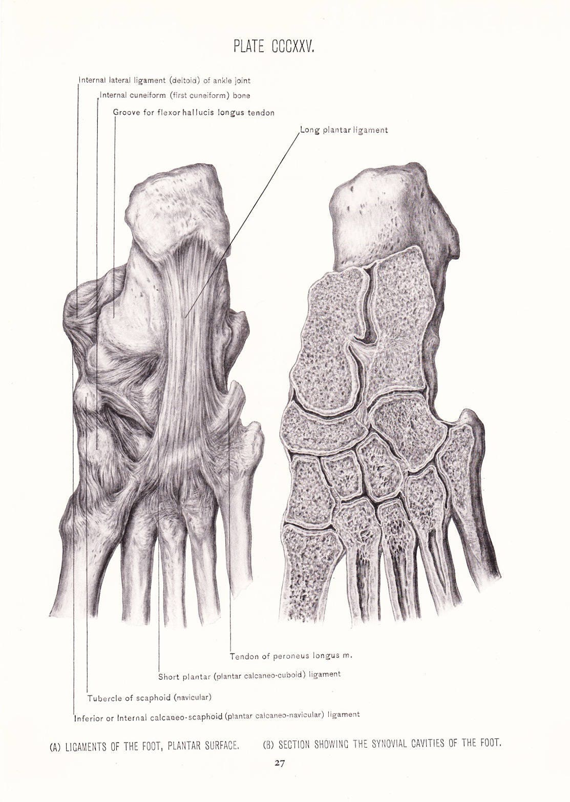 1926 Human Anatomy Print Ligaments of Foot Plantar Muscles