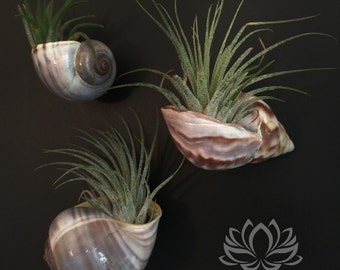 Tillandsia Shell Magnet Trio by Zentilly©