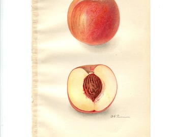 Antique Color Fruit Print - Russell Peach - Botanical Print