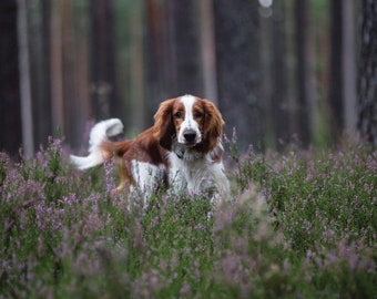 Welsh springer spaniel postcard for postcrossing // dog in forest postcard // cute dog fine art print // colour dog photo