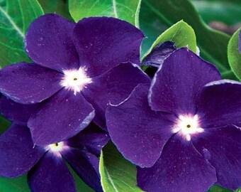 Vinca Sunstorm Purple Periwinkle Flower Seeds / Annual  40+