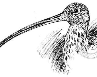 Eastern Curlew pencil drawing - bird art, wildlife art - nature print of original artwork