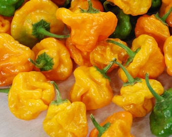 Jamaican Yellow Scotch Bonnet Chile Seeds - Summer 2017 Crop  ORGANICALLY GROWN