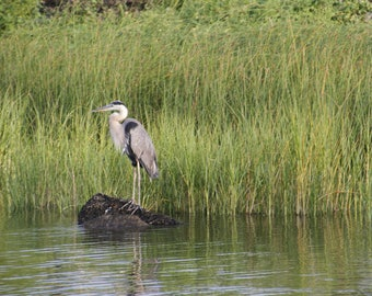 Blue Heron in Louisiana Wetlands Original Signed Print, Free Shipping, Blue Heron Relaxing in the Bayou, Blue Heron Wild Birds