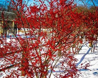 Winterberry Holly 3 Gallon