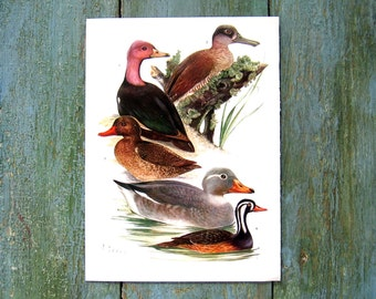 Bird Print - Ducks - 1968 Vintage Print - from Encyclopedia