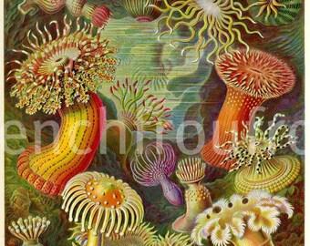 antique sea anemone  jelly fish illustration ernst haeckel actiniae digital illustration