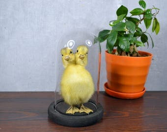 Taxidermy Freak Two Headed Yellow Duckling Mounted In Dome Free Shipping