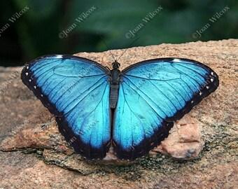 Blue Morpho Butterfly Tropical Butterflies Original Fine Art Photography Photo Print