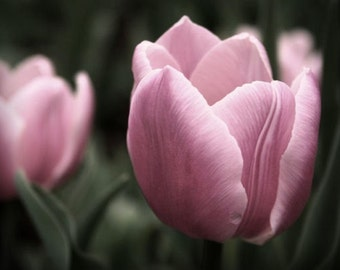 "Tulip photograph, flower wall art, pink -- ""Delicately Brushed"", a 5x7-inch fine art photograph"