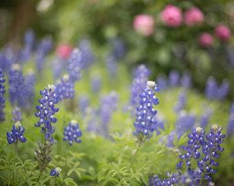 texas bluebonnets, bluebonnet art, bluebonnet photography, texas landscape, spring photography, large wall art, texas decor, gift for her